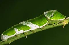 Larva av fjärilen på twig/green/Papiliomemnon Royaltyfria Foton