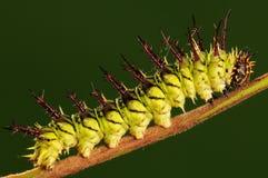 Larva av fjärilsLimenitissydyien /green Fotografering för Bildbyråer