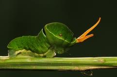 Larva av Papilio paris Linnaeus/fjäril Arkivfoto