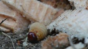 Larva of bark burrow beetle on the ground stock video
