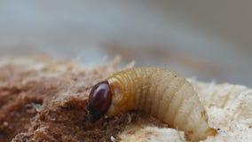 Larva of bark burrow beetle moving on the bark stock footage