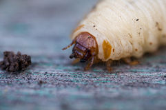 The larva of a beetle Stock Image
