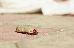 The larva beetle on the road Royalty Free Stock Image