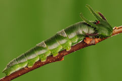 Larva of butterfly Stock Photography