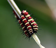 Larva of a butterfly Stock Images