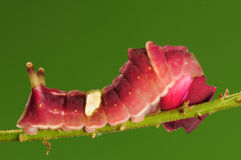 Larva of butterfly, Curetis acuta Stock Images