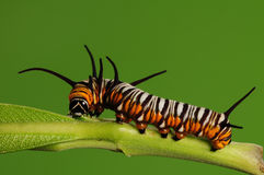 Larva of butterfly/Euploea mulciber /brown Stock Image