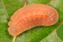 Larva of butterfly, Lycaenidae Stock Photos
