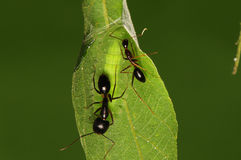 Larva of butterfly, Mahathaio. Larva of butterfly, green, ants are protecting the larva Royalty Free Stock Photos