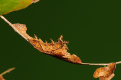 Larva of butterfly, Neptis philyra. Having rest, it simulates a dead leaf Royalty Free Stock Image