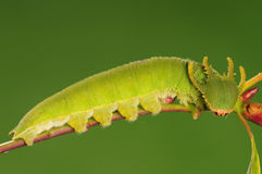 Larva of butterfly, Polyura narcaea Royalty Free Stock Photo