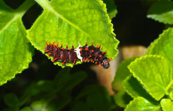 Larva of butterfly Stock Image