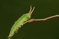 Larva of butterfly on twig/ green/ Hestina assimilis Royalty Free Stock Photography