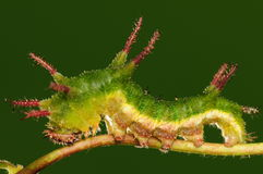Larva of butterfly on twig/ green/ Parathyma sulpitia Royalty Free Stock Images