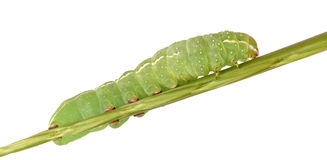 Larva Stock Photos