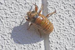 Larva of a cicada Royalty Free Stock Images