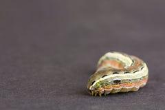 Larva close up, NC Royalty Free Stock Images