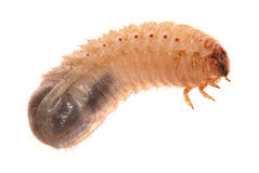 Larva of cockchafer Stock Photo
