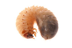 Larva of cockchafer Royalty Free Stock Photos
