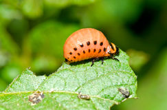 Larva of Colorado Beetle Stock Photos