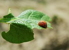 Larva of colorado beetle. Royalty Free Stock Images