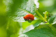 Larva of colorado beetle on leaf of potato Royalty Free Stock Image