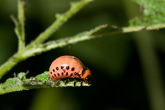 Larva of Colorado potato beetle Royalty Free Stock Image
