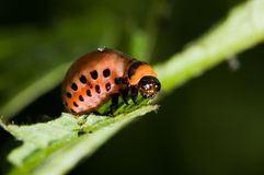 Larva of Colorado potato beetle Stock Images