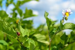 Larva of the Colorado potato beetle Stock Photo