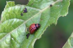 Larva of a Colorado potato beetle Leptinotarsa decemlineata. On leaves of a potato plant royalty free stock photography