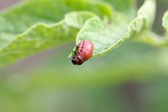 Larva of a Colorado potato beetle Leptinotarsa decemlineata. On leaves of a potato plant royalty free stock photo