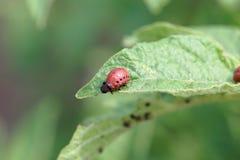 Larva of a Colorado potato beetle Leptinotarsa decemlineata. On leaves of a potato plant stock photos