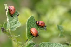 Larva of a Colorado potato beetle Leptinotarsa decemlineata. On leaves of a potato plant royalty free stock photos