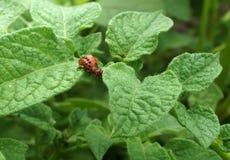 Larva of the Colorado potato beetle Royalty Free Stock Photos