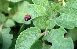 Larva of the Colorado potato beetle Royalty Free Stock Image