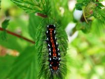Larva Royalty Free Stock Image