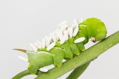 Larva con los coccoons de las crisálidas de la avispa Fotos de archivo