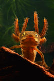 Larva crested newt amphibian water salamander stock image