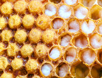 Larva da abelha, favo de mel fotografia de stock royalty free