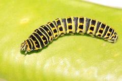 Larva da borboleta em uma folha Foto de Stock