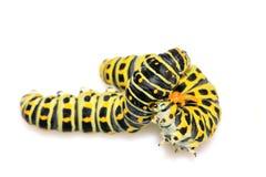 Larva da borboleta em uma folha Imagens de Stock