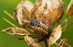 Larva da joaninha em Hogweed Imagens de Stock Royalty Free