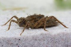 Larva da libélula Imagem de Stock Royalty Free