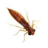 Larva de la libélula aislada en blanco Imagenes de archivo