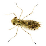 Larva de la libélula Fotos de archivo libres de regalías