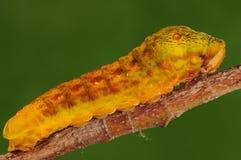 Larva de la mariposa Fotografía de archivo libre de regalías
