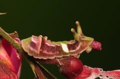 Larva de la mariposa Imagen de archivo libre de regalías