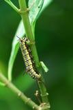 Larva de la mariposa Imagen de archivo