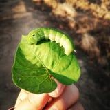 Larva de la mariposa Fotos de archivo libres de regalías