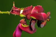 Larva de la mariposa, acuta de Curetis Imagen de archivo